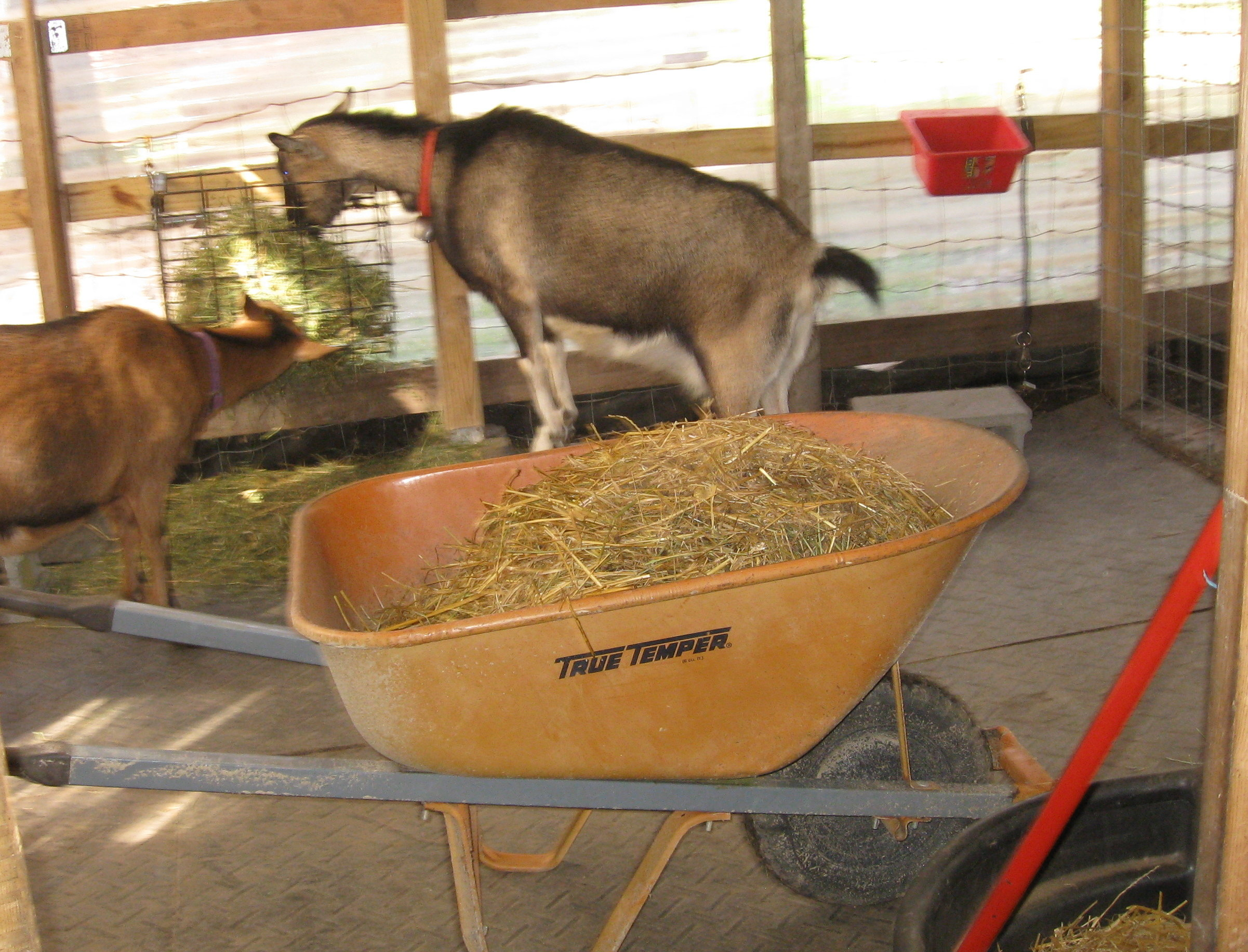 Mucking Out The Goat Barn